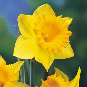 daffodil-01